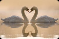 Animal email stationery. Charming White Swans Kissing