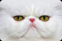 White Cat With Fierce Look Stationery, Backgrounds