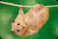 Animal email stationery. Cute Little Hamster Hanging On A Wire