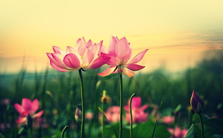Flowers Email Stationery Stationary Beautiful Lotus Flowers