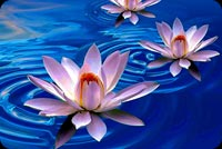 Flowers email stationery. Lotus Blue Water