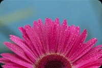 Closeup Pink Flower, Water Drops Stationery, Backgrounds