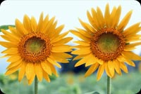 Get well email stationery. 2 Vibrant Yellow Sunflowers