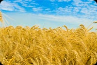 Nature email stationery. Wheat With The View Of The SKy
