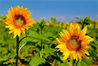 Sunflowers Bloom In Summer Stationery, Backgrounds