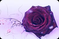 Wedding email stationery. Rose In Rich Purple Color